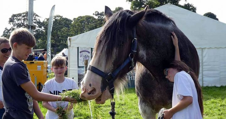 Feeding a Clydesdale at Scone Palace 2019